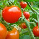 機能性トマトを効率よく栽培する「AI-ロボット温室システム」を開発する